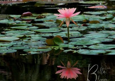 pink-lily-reflection-bellabloom
