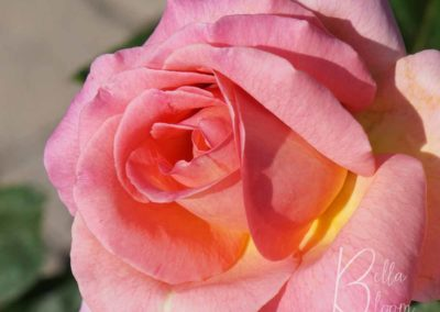 pink-rose-bellabloom