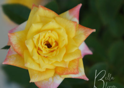 tiny-yellow-rose-bellabloom