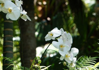 white-orchid-bellabloom