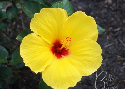 yellow-hibiscus-bellabloom